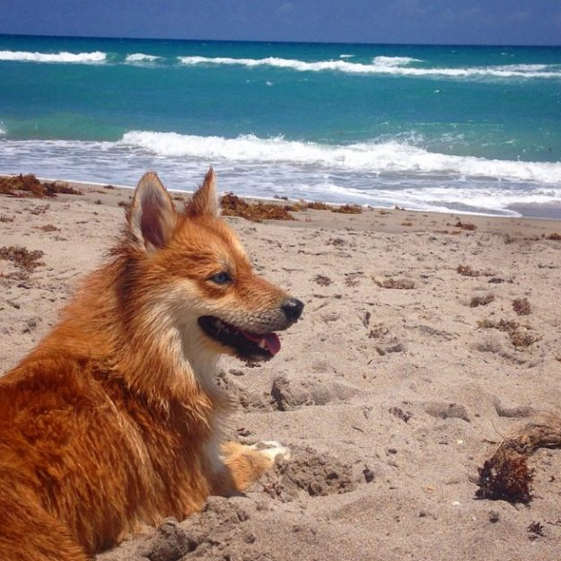 cane volpino in spiaggia