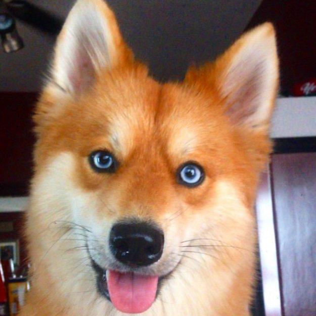 cane volpino