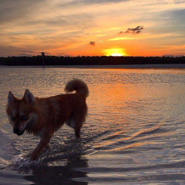 cane volpino al mare