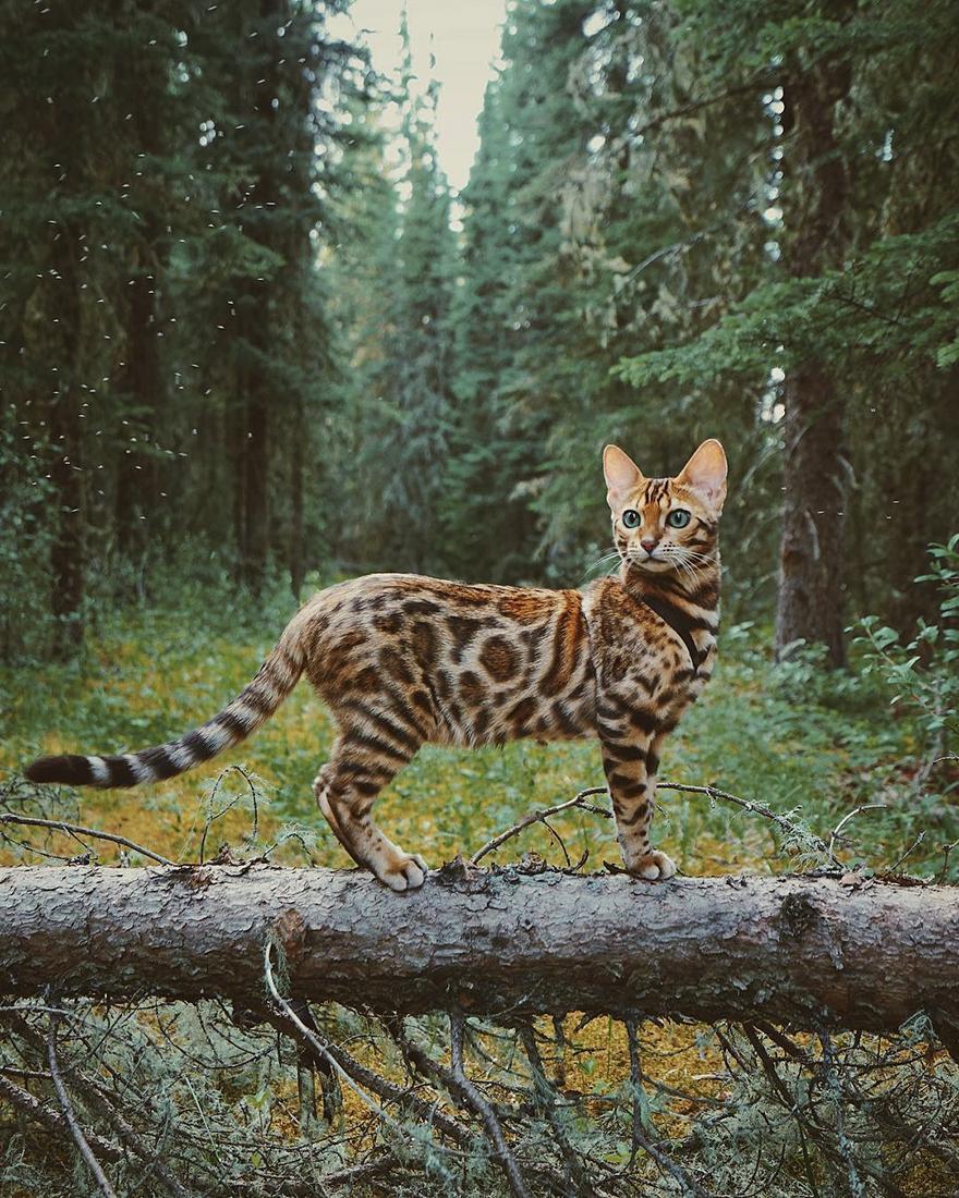 Suki gatto del bengala viaggiatore11