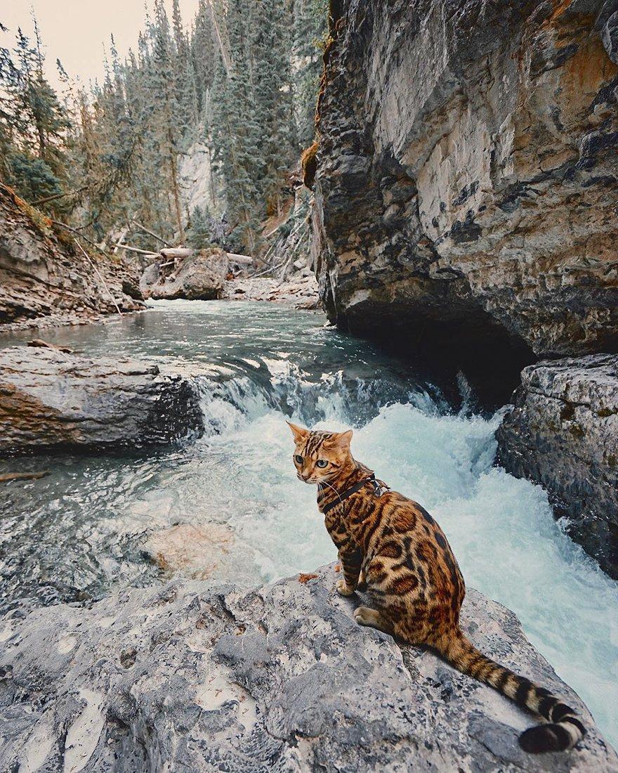 Suki gatto del bengala viaggiatore5