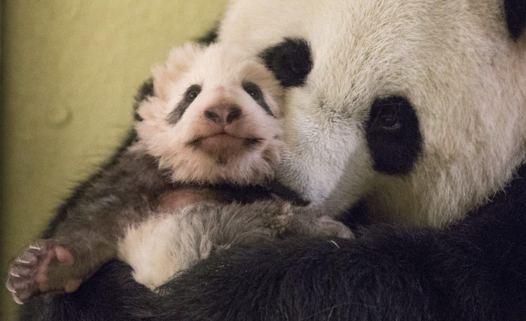cucciolo di panda fa i suoi primi passi