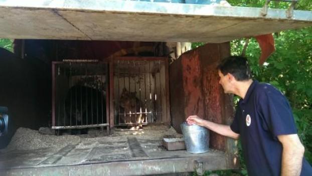 due orsi rinchiusi in una gabbia