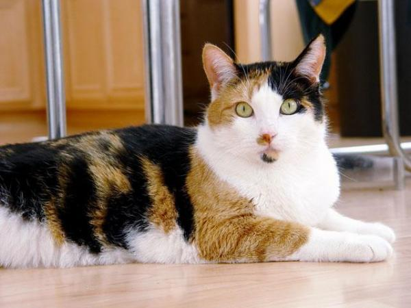gatti a tre colori sempre femmine