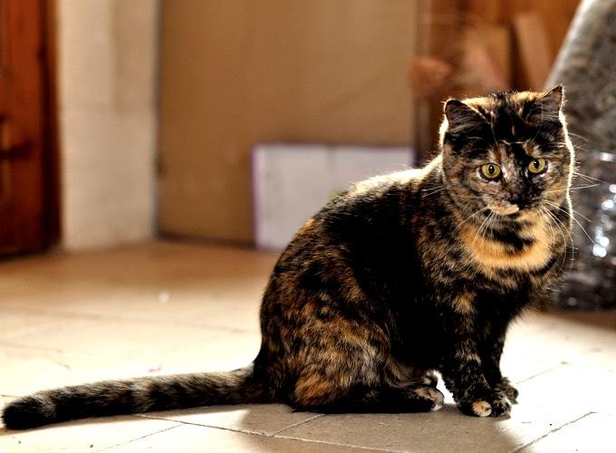 gatti a tre colori sempre femmine1