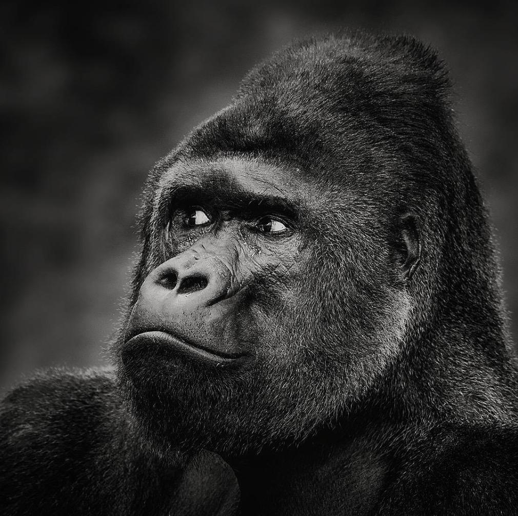 animali selvatici foto gorilla
