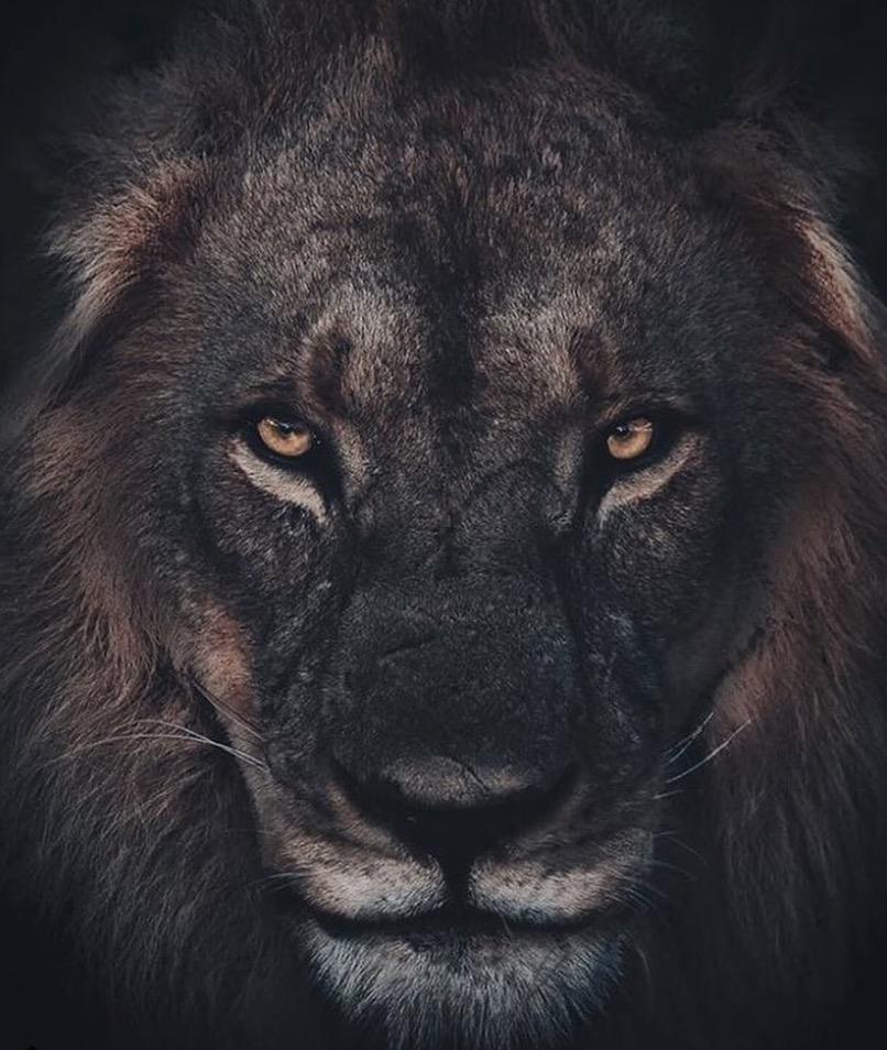 animali selvatici foto leone