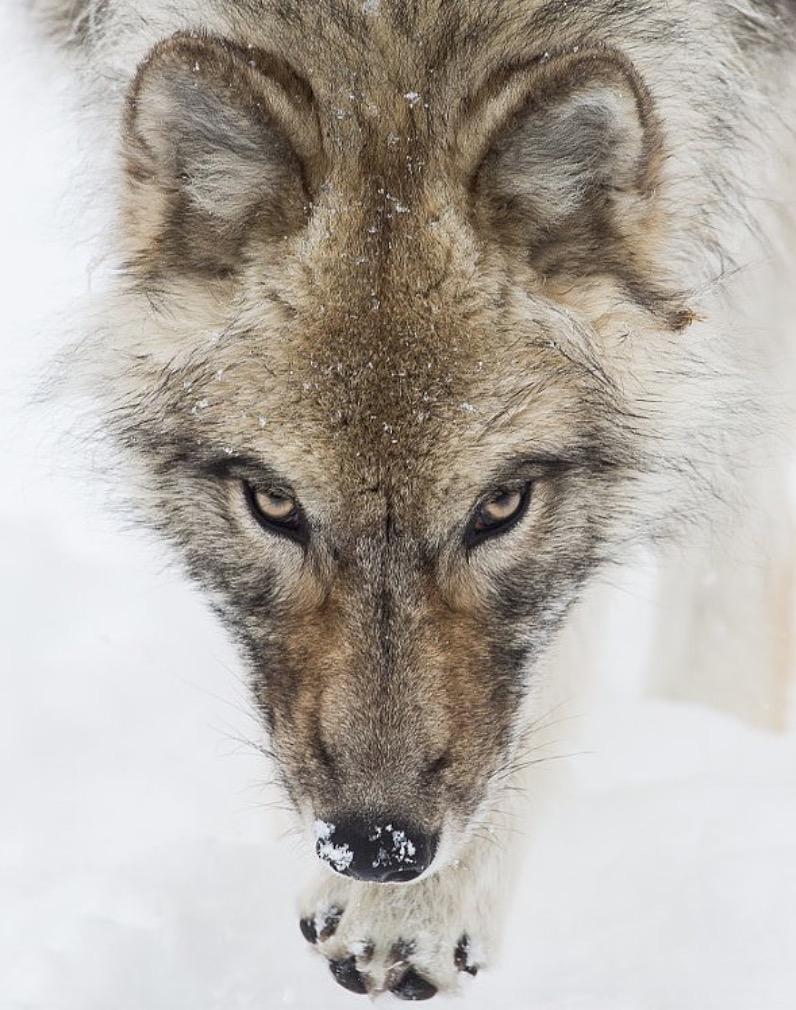 animali selvatici foto lupo