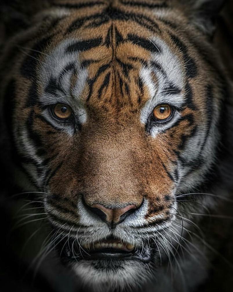 animali selvatici foto tigre