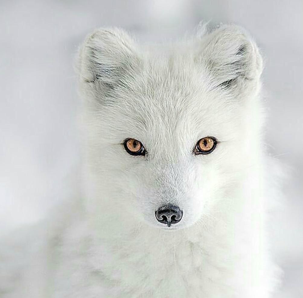animali selvatici foto volpe artico