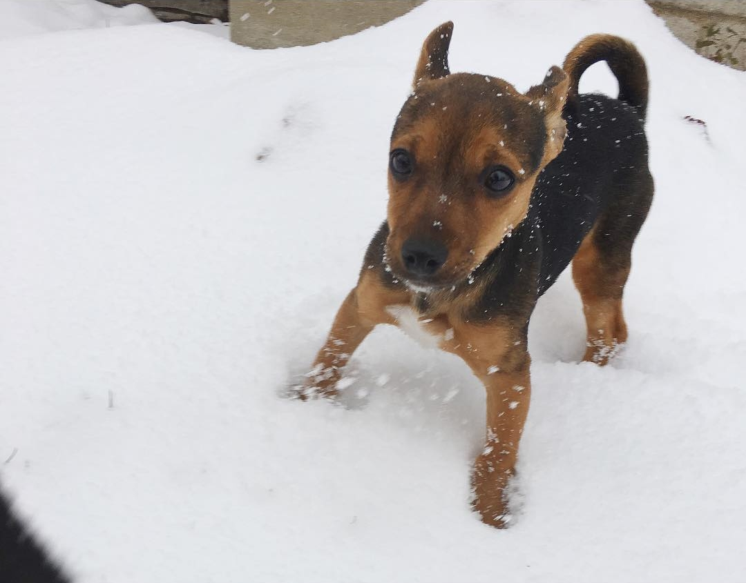 cani che giocano con la neve