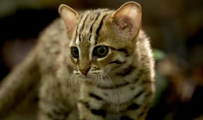 gatto leopardo dell'India