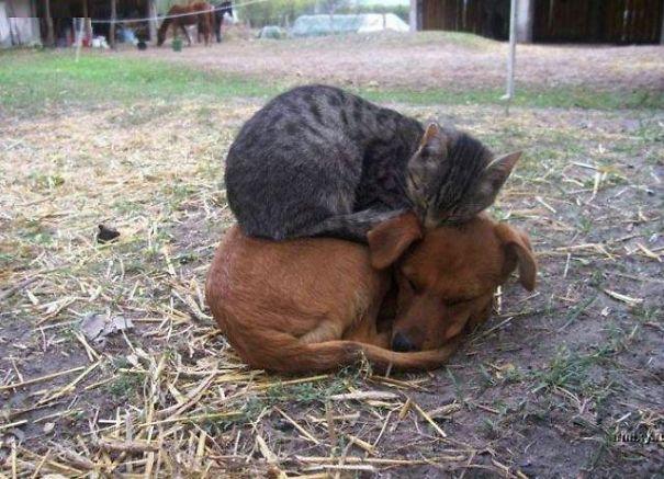 gatti che usano i cani come cuscini