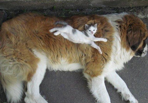 gatti che usano i cani come cuscini1