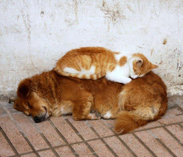 gatti che usano i cani come cuscini11