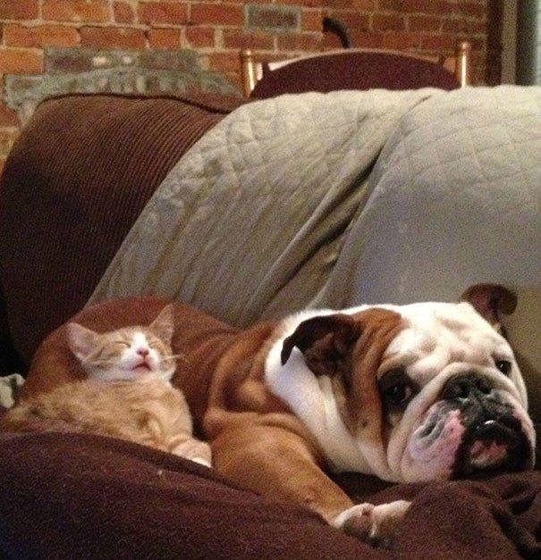 gatti che usano i cani come cuscini13
