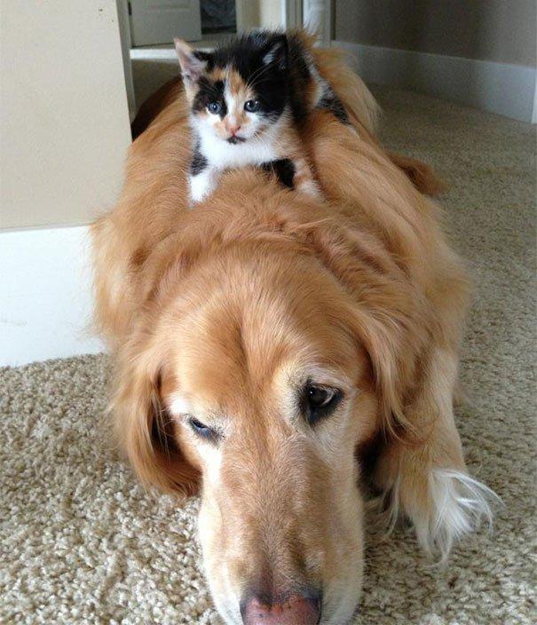 gatti che usano i cani come cuscini14