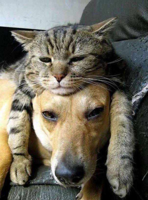 gatti che usano i cani come cuscini2