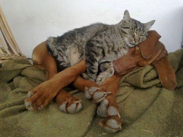 gatti che usano i cani come cuscini3