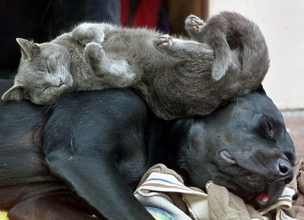 gatti che usano i cani come cuscini6