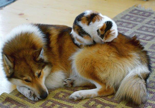 gatti che usano i cani come cuscini7