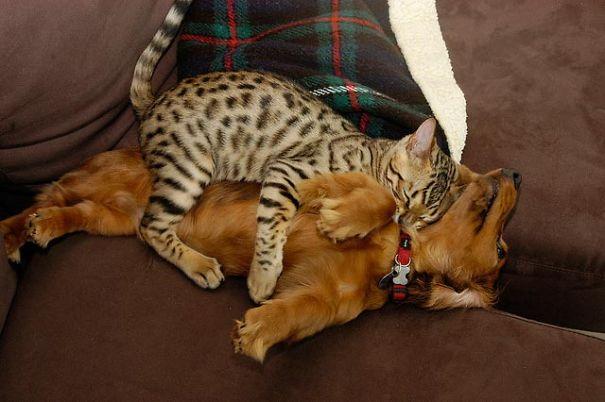 gatti che usano i cani come cuscini8