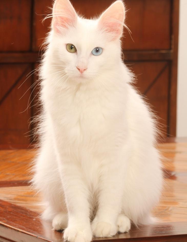 angora-turco caratteristiche