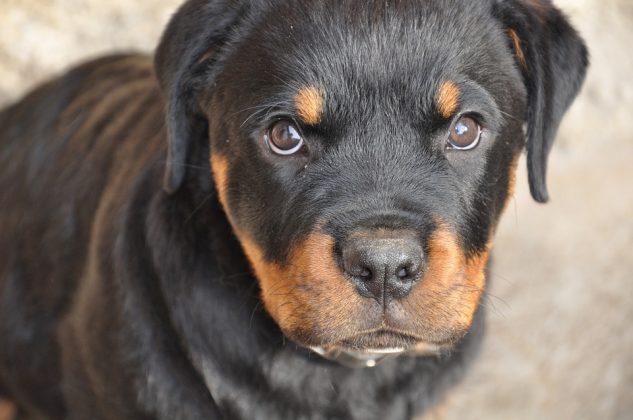 cucciolo di rottweiler con occhi dolci