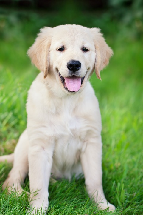 golden retriever cucciolo1