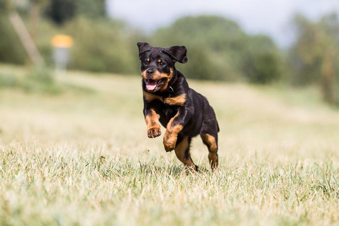 cucciolo di rottweiler che corre