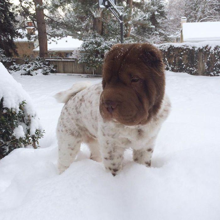 shar pei nano nella neve