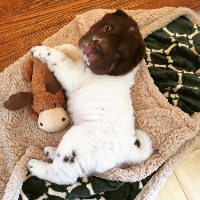 shar pei nano sdraiato su coperta