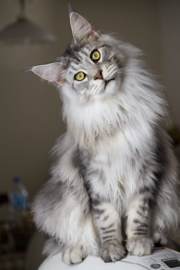 maine coon caratteristiche