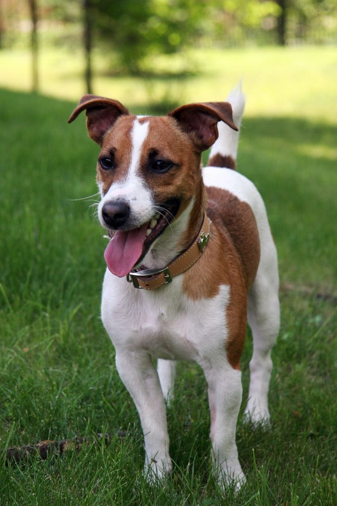 jack russell caratteristiche