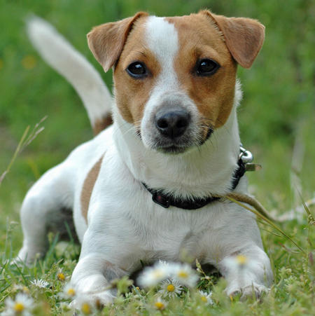 jack russell caratteristiche1