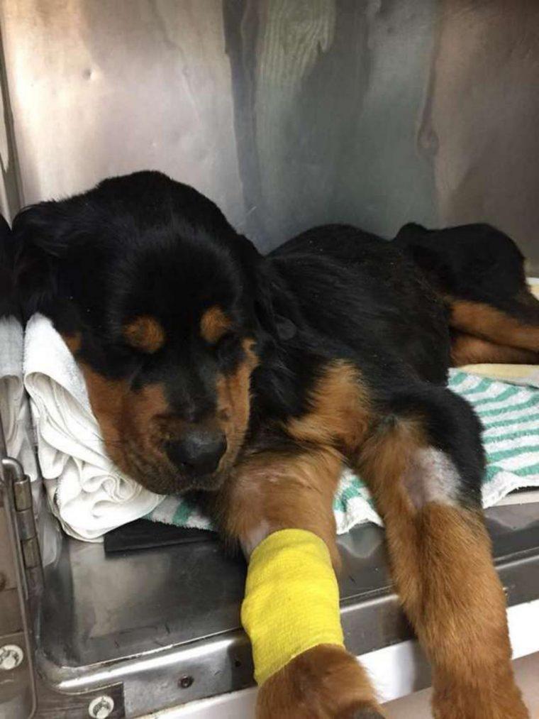 rottweiler paralizzato - salvataggio3