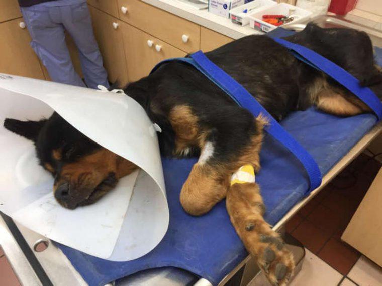 rottweiler paralizzato - salvataggio4