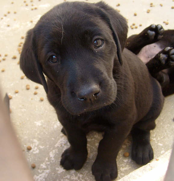 labrador nero cucciolo