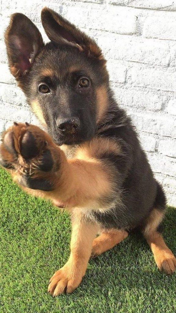 pastore tedesco cucciolo