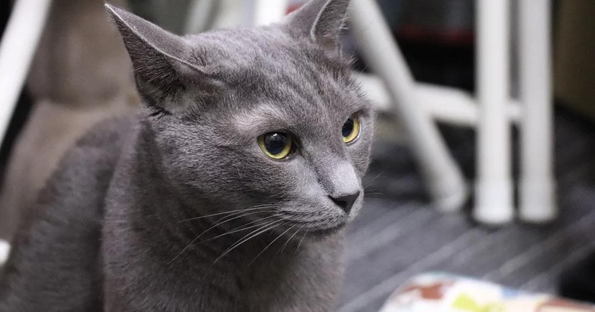 gatto-blu-di-russia