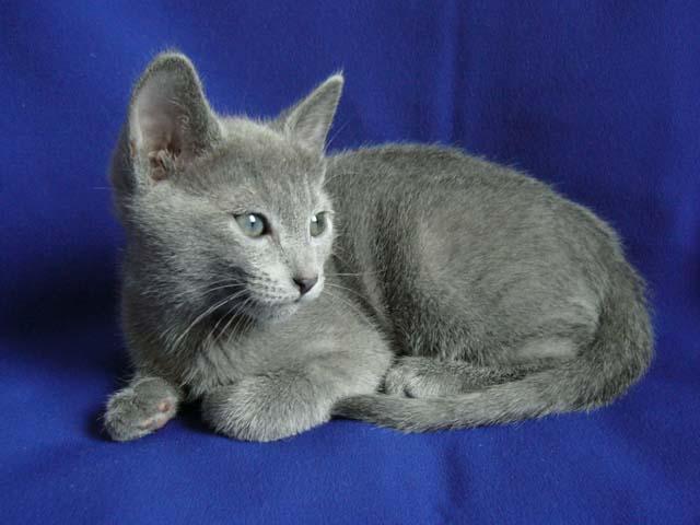 gatto blu di russia cucciolo