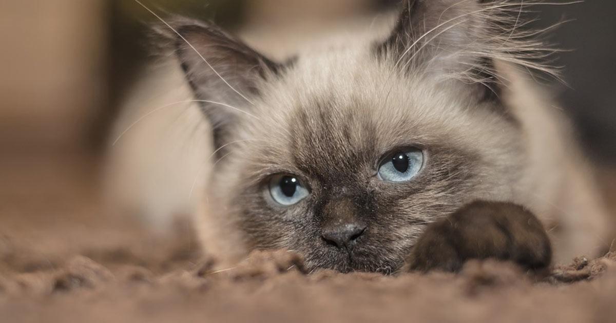 gatto-coronavirus-belgio