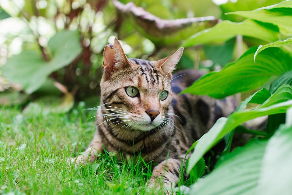 gatto del bengala1