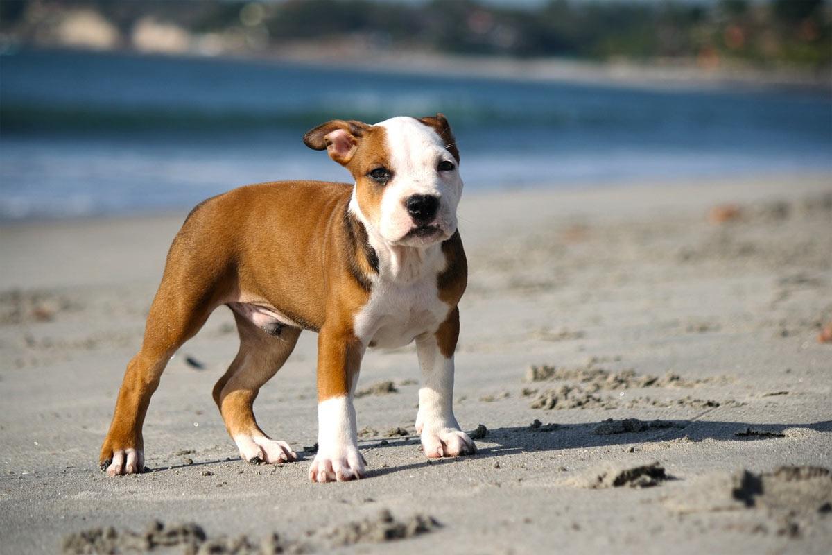 pitbull-cucciolo