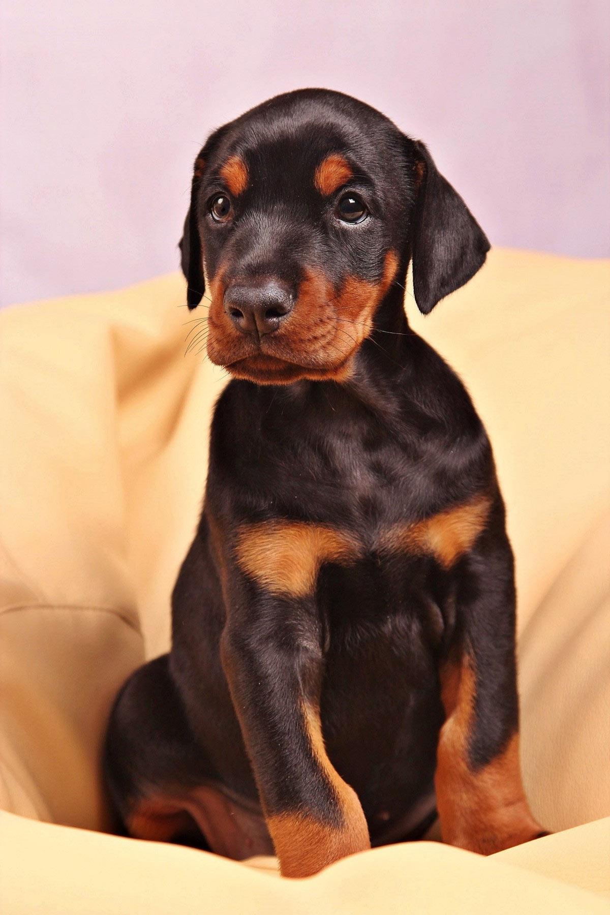 cucciolo-di-dobermann