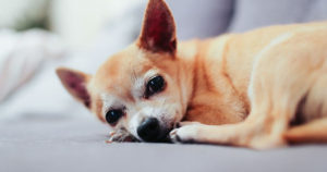 dermatite-nel-cane