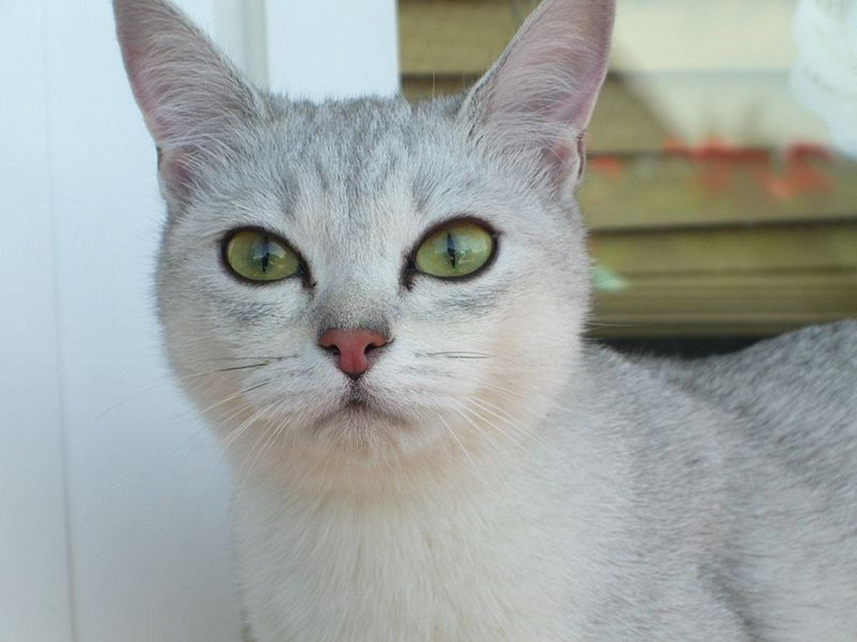 gatto-burmilla