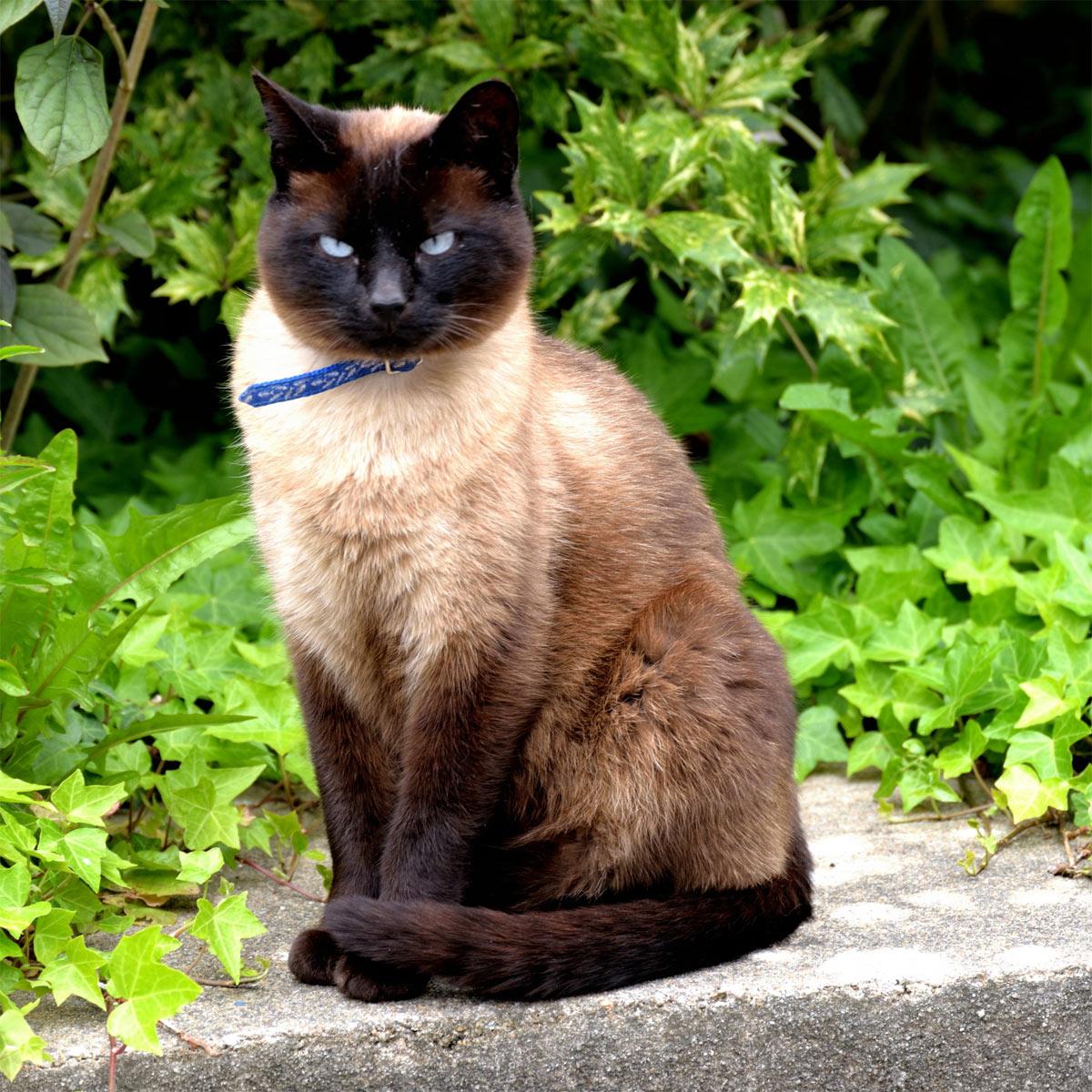 gatto-siamese2
