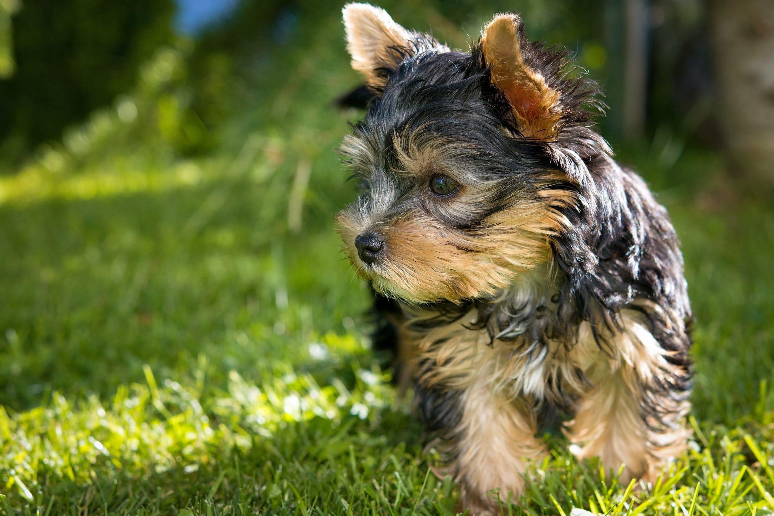 yorkshire-terrier